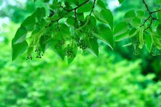 Kostenloses Green Aspen leaves Wallpaper für Android, iPhone und iPad