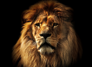 Lion Picture for Android, iPhone and iPad