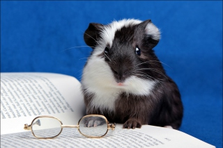 Guinea pig reads Picture for Widescreen Desktop PC 1920x1080 Full HD