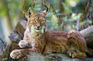 Lynx in the East Siberian forests Background for Android, iPhone and iPad