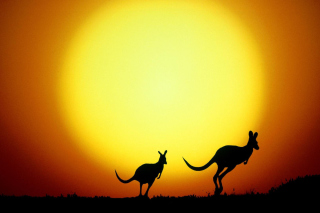 Kangaroo At Sunset Picture for Android, iPhone and iPad
