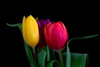 Macro Tulips Background for Android, iPhone and iPad
