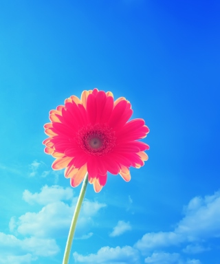 Pink Gerbera Picture for Nokia C1-01