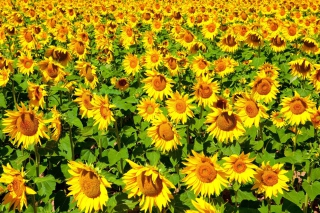 Sunflowers Field Background for Android, iPhone and iPad