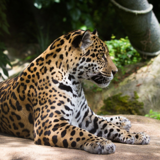 Jaguar Wild Cat Picture for 208x208