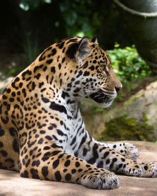 Jaguar Wild Cat Background for iPhone 5S