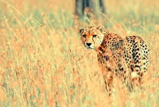 Beautiful Cheetah Background for Android, iPhone and iPad