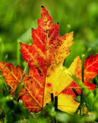First Red Autumn Leaf sfondi gratuiti per iPhone 6