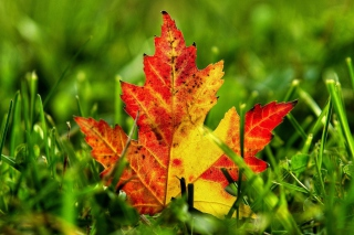 First Red Autumn Leaf Wallpaper for Android, iPhone and iPad