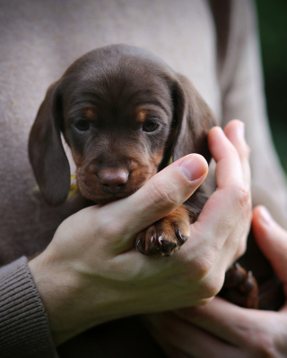 Free Dachshund Puppy Picture for Nokia C1-01