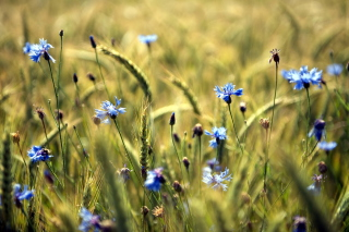 Blue Summer Field Flowers Background for Android, iPhone and iPad