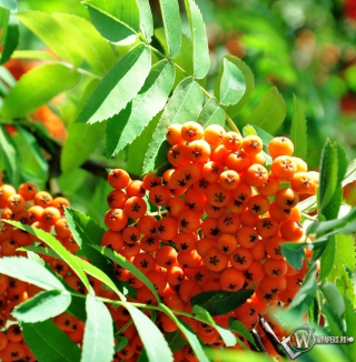 Rowanberry Background for iPad Air