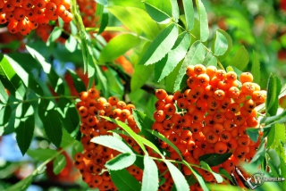 Rowanberry Wallpaper for Nokia Asha 302