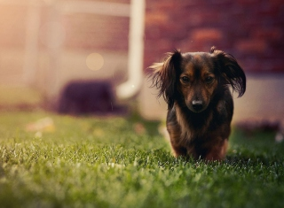Dachshund Dog HD Wallpaper for Android, iPhone and iPad