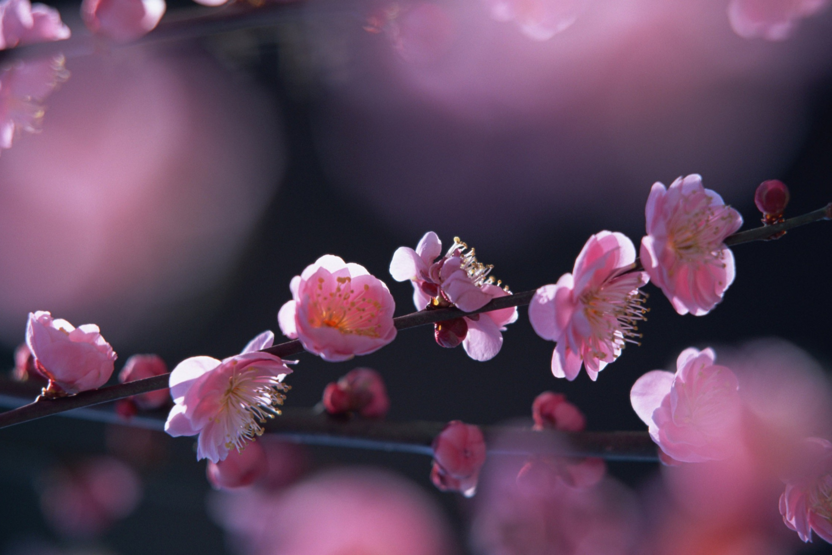 cherry blossom wallpaper - HD 2880×1920