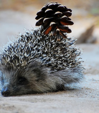 Free Hedgehog With Pine Cone Picture for Nokia C1-01