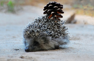 Kostenloses Hedgehog With Pine Cone Wallpaper für Android, iPhone und iPad