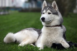 Siberian Husky Background for Android, iPhone and iPad