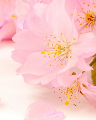 Spring Pink Blossoms Wallpaper for Nokia C1-01