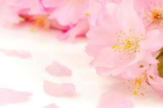 Spring Pink Blossoms Wallpaper for Android, iPhone and iPad