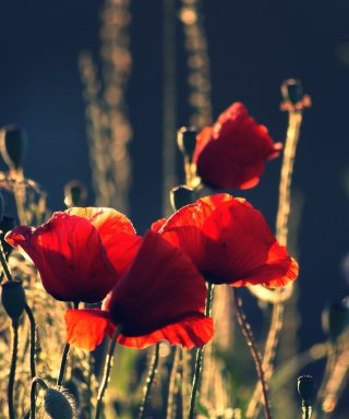 Free Red Poppies Picture for HTC Titan