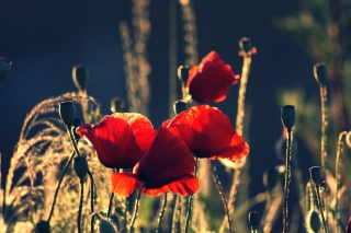 Red Poppies Background for Android, iPhone and iPad