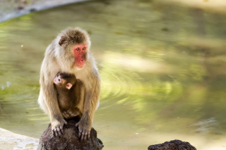 Feeding monkeys in Phuket Background for Android, iPhone and iPad