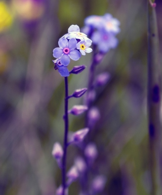 Free Violet Flowers Picture for Nokia C2-03