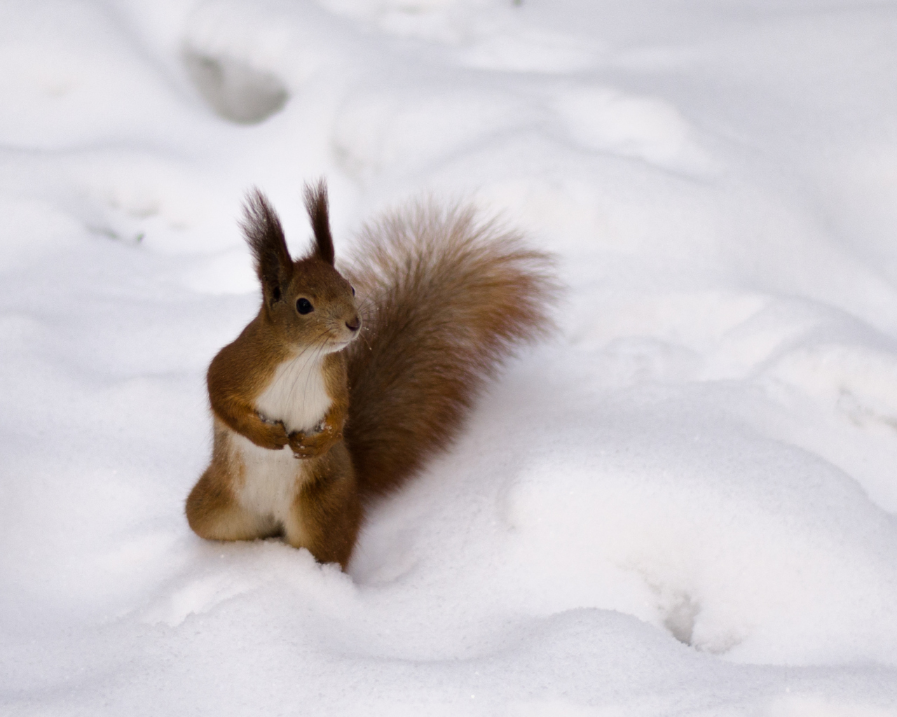Screenshot №1 pro téma Funny Squirrel On Snow 1280x1024
