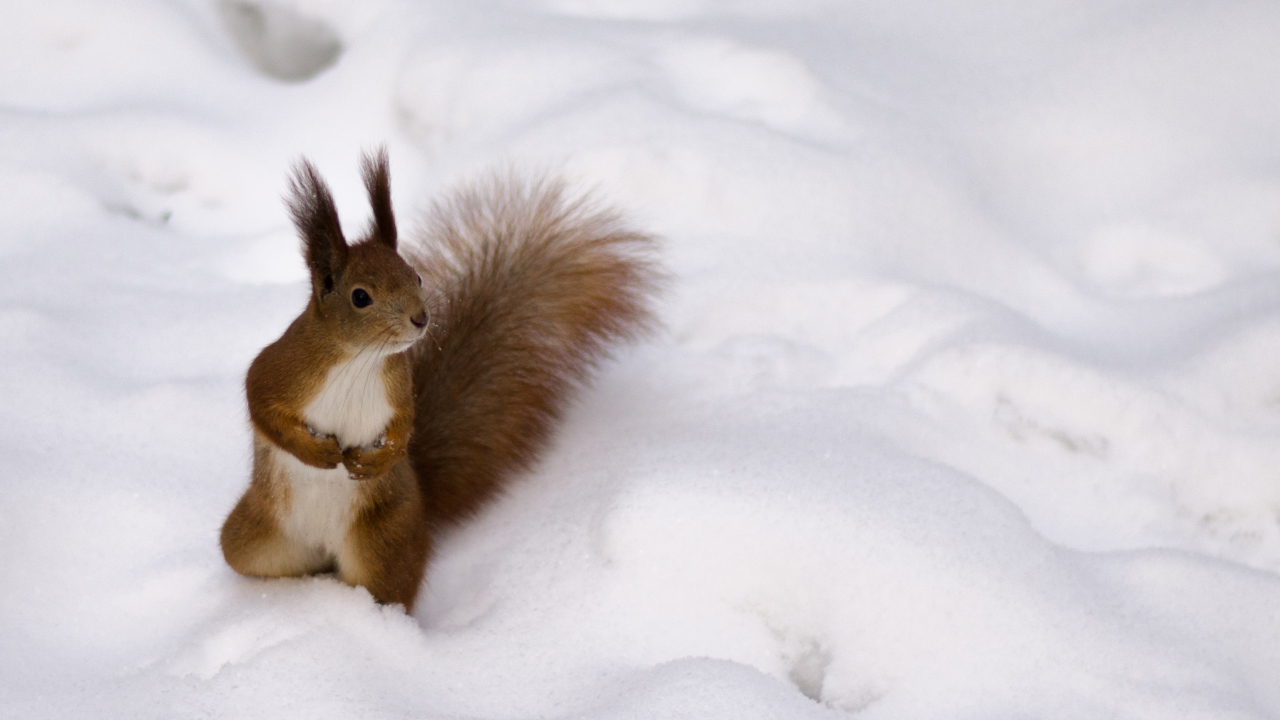 Screenshot №1 pro téma Funny Squirrel On Snow 1280x720