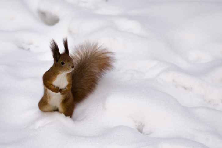 Sfondi Funny Squirrel On Snow