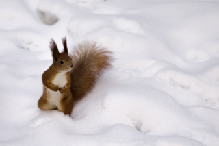 Funny Squirrel On Snow Background for Android, iPhone and iPad