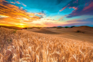 Wheatfield Wallpaper for Android, iPhone and iPad