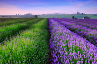 Lavender Field In England Picture for Android, iPhone and iPad
