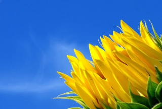 Sunflower And Blue Sky Wallpaper for Android, iPhone and iPad