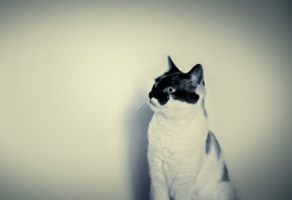 Black And White Cat Background for Android, iPhone and iPad