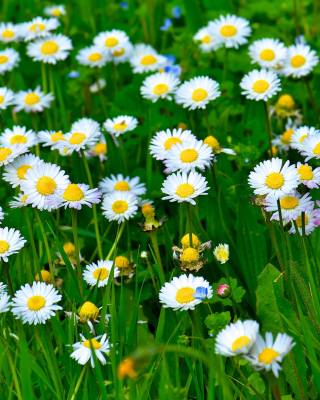 Daisies Meadow Picture for Nokia Asha 305