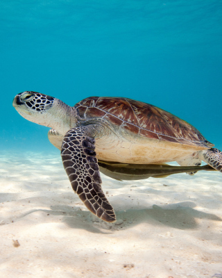 Sea Turtle Reptile Picture for Nokia C1-01