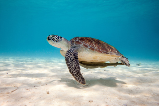 Sea Turtle Reptile Background for Android, iPhone and iPad