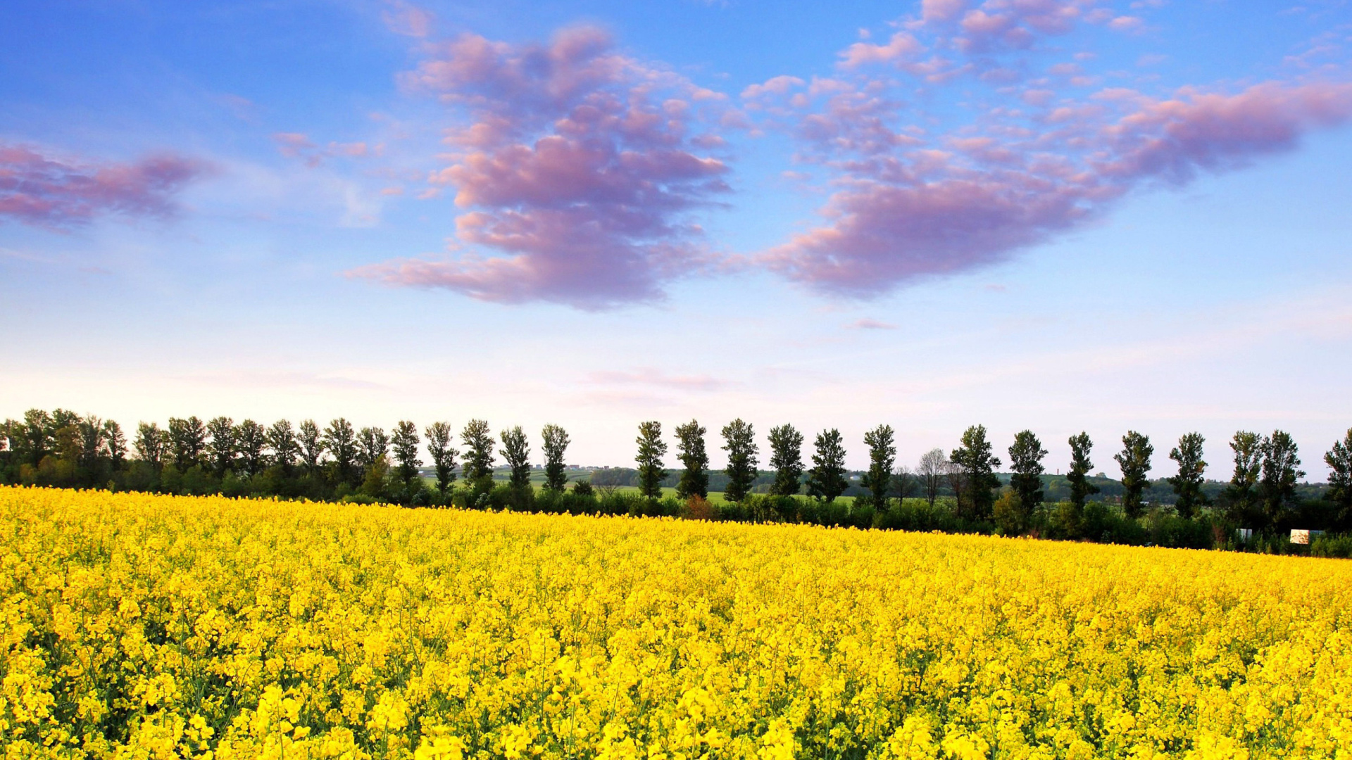 Screenshot №1 pro téma Summer Field with Rape 1920x1080