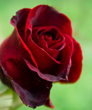 Red Rose Wallpaper for Nokia C6