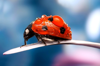 Free Maro Ladybug and Dews Picture for Motorola DROID 3