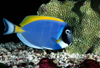 Powder Blue Tang Wallpaper for Android, iPhone and iPad