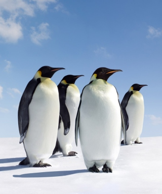 Free Antarctica Emperor Penguins Picture for Nokia Asha 311