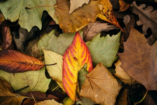 Autumn Leaf Carpet sfondi gratuiti per Samsung Galaxy S5