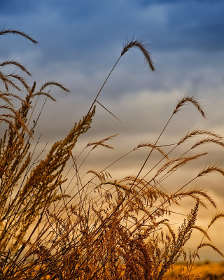 Wheat Field Agricultural Wallpaper Background for Nokia Asha 306