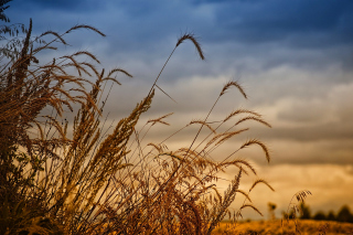 Wheat Field Agricultural Wallpaper Background for Android, iPhone and iPad
