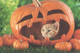 Free Pumpkin Cat Picture for 1680x1050