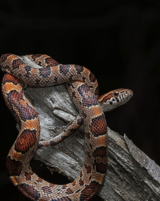 Free Pantherophis Corn Snake Picture for 480x640