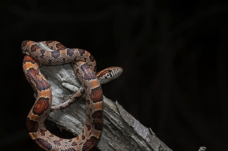 Pantherophis Corn Snake Wallpaper for Samsung Galaxy Ace 4